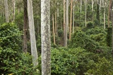 Spotted Gum Tree Forest in Murramarang National Park Photographic Print by Paul Souders