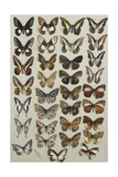 Thirty-Three Butterflies, in Four Columns, Belonging to the Papilionidae and Danainae Families Giclee Print by Marian Ellis Rowan