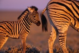 Young Plains Zebra Photographic Print by Paul Souders