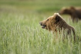 Grizzly Bears Resting in Meadow at Hallo Bay Photographic Print by Paul Souders