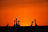 Giraffe Silhouettes at Sunset Photographic Print by Paul Souders