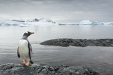 Gentoo Penguin on Cuverville Island  Antarctica
