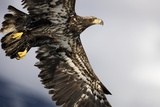 Bald Eagle in Flight in Alaska Photographic Print by Paul Souders