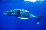 Snorkeler Swimming Above Humpback Whale Reproduction photographique par Paul Souders