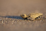 Hatchling Sea Turtle on the Beach in Costa Rica Photographic Print by Paul Souders