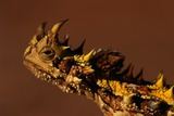 Head of a Thorny Devil Photographic Print by Paul Souders