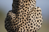 Back of Sitting Cheetah Photographic Print by Paul Souders