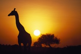 Silhouette of Giraffe at Sunrise Photographic Print by Paul Souders