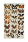 Twenty-Two Butterflies in Three Columns, All Belonging to the Family Nymphalidae Giclee Print by Marian Ellis Rowan