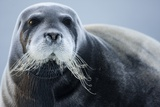 Bearded Seal, on Iceberg, Svalbard, Norway Photographic Print by Paul Souders
