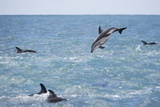 Dusky Dolphin Leaping Photographic Print by Paul Souders