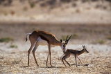 Springbok Mother with Newborn Calf Photographic Print by Paul Souders
