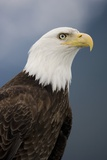 Bald Eagle in Tongass National Forest Photographic Print by Paul Souders