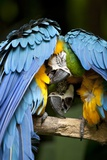 Blue-And-Gold Macaws at Zoo Ave Park Stampa fotografica di Paul Souders