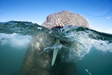 Walrus Swimming Photographic Print by Paul Souders