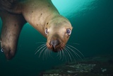 Steller Sea Lion Underwater Photographic Print by Paul Souders