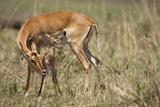 Impala Cleaning Newborn Calf Photographic Print by Paul Souders