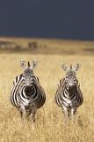 Burchell's Zebras on Savanna Below Stormy Sky Photographic Print by Paul Souders