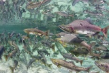 Underwater Spawning Salmon, Alaska Photographic Print by Paul Souders