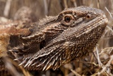 Inland Bearded Dragon in the Australian Outback Photographic Print by Paul Souders