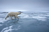 Polar Bear Walking on Melting Ice Photographic Print by Paul Souders
