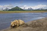 Grizzly Bear Resting Fotografisk tryk