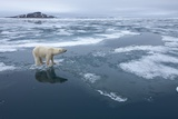 Polar Bear Standing at Edge of Melting Ice Photographic Print by Paul Souders