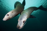 Steller Sea Lions Photographic Print by Paul Souders