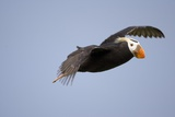 Tufted Puffin in Flight in Katmai National Park Photographic Print by Paul Souders