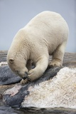 Polar Bear Feeding on Dead Fin Whale Photographic Print by Paul Souders