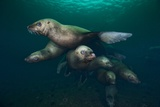 Steller Sea Lions Swimming Underwater Photographic Print by Paul Souders