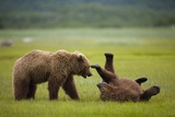 Brown Bears Sparring in Meadow at Hallo Bay Photographic Print by Paul Souders
