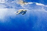 Underwater View of Green Sea Turtle in Hawaii Fotografisk tryk af Paul Souders