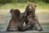 Brown Bears Sparring in Stream at Kukak Bay Photographic Print by Paul Souders