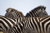 Burchell's Zebras in Masai Mara National Reserve Photographic Print by Paul Souders