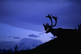 Caribou Photographic Print by Paul Souders