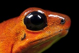 Strawberry Poison Dart Frog in Costa Rica Photographic Print by Paul Souders