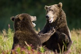 Brown Bears Sparring in Meadow at Kukak Bay Photographic Print by Paul Souders