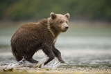 Brown Bear Cub on Beach at Geographic Harbor Photographic Print by Paul Souders