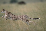 Leaping Cheetah in Grass Photographic Print by Paul Souders