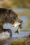 Brown Bear Holding Salmon in River at Kinak Bay Photographic Print by Paul Souders