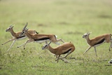 Thomson's Gazelles Running from Stalking Cheetah Photographic Print by Paul Souders