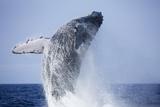 Humpback Whale Beaching Along Hawaii's Kona Coast Photographic Print by Paul Souders