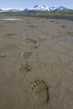 Brown Bear Tracks at Hallo Bay in Katmai National Park Photographic Print by Paul Souders