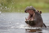 Hippopotamus in the Kwando River Photographic Print by Paul Souders