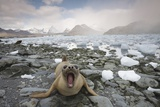 Elephant Seal on South Georgia Island Photographic Print by Paul Souders