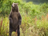 Brown Bear Cub Standing Upright at Kinak Bay Photographic Print by Paul Souders