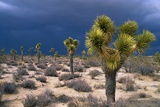 Storm Clouds over Joshua Trees Photographic Print by Paul Souders