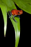 Strawberry Poison Dart Frog in Costa Rica Fotografisk trykk av Paul Souders