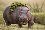 Hippopotomaus Walking on Savanna with Vegetation on it's Back Fotografisk trykk av Paul Souders